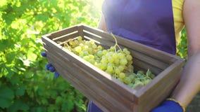 Caucasian kvinnlig i förkläde och arbeta i trädgårdenhandskar som bär träasken med druvor lager videofilmer