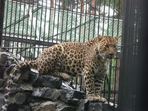 Caucasian leopard. Leopard in the Novosibirsk zoo Stock Photography