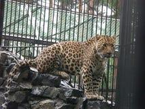 caucasian leopard arkivbild