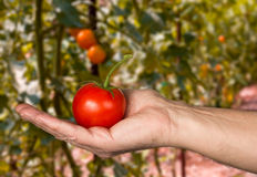 Caucasian mans hand holding large organic tomato Stock Photography