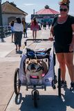Caucasian middle aged woman walks her big bull dog, who is in a doggie stroller, on the Huntington Beach Pier on this date stock images
