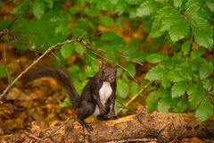 Caucasian or Persian Squirrel (Sciurus anomalus) standing on its hind legs on a thick green tree branch Stock Photos