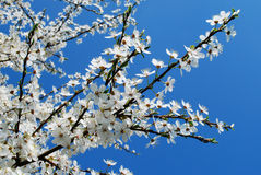 Caucasian plum white blossom and blue sky background Stock Photos