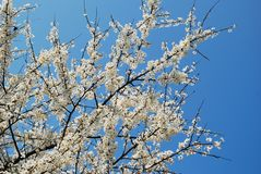 Caucasian plum white blossom and blue sky background Stock Images