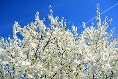 Caucasian plum white blossom and blue sky Stock Images