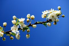 Caucasian plum white blossom and blue sky background Royalty Free Stock Images