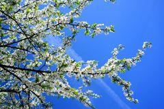 Caucasian plum white blossom and blue sky Royalty Free Stock Images