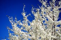 Caucasian plum white blossom and blue sky background Stock Image