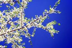 Caucasian plum white blossom and blue sky Stock Photo
