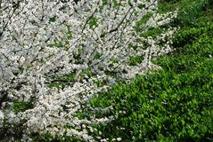 Caucasian plum white blossom and green grass background Royalty Free Stock Photos