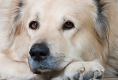 The Caucasian sheep-dog. Portrait of the Caucasian sheep-dog Royalty Free Stock Photo