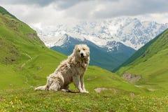 Caucasian sheep dog for the guard of cattle. In village Ushguli. Svaneti, Georgia stock photo