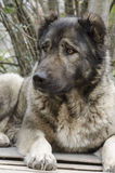 Caucasian sheep dog. Looks attentively Stock Image