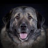 Caucasian sheepdog portrait. Adult Caucasian dog portrait in studio Stock Photos