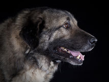 Caucasian sheepdog portrait. In the studio with black background Royalty Free Stock Photography