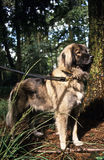Caucasian shepherd. This guard dog is a fierce protector of home and livestock Stock Image