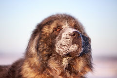 Caucasian Shepherd. Dog with snow Royalty Free Stock Images