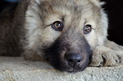 Caucasian Shepherd Baby Dog. Close up of a Caucasian Shepherd Baby Dog stock image
