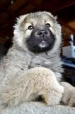 Caucasian Shepherd Baby Dog. Close up of a Caucasian Shepherd Baby Dog stock photos