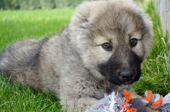 Caucasian Shepherd Baby Dog Playing with a Ball. Close up of a Caucasian Shepherd Baby Dog Laying on a Green Grass with Dog Toy stock photo