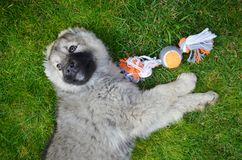 Caucasian Shepherd Baby Dog Playing with a Ball. Close up of a Caucasian Shepherd Baby Dog Laying on a Green Grass with Dog Toy royalty free stock photography