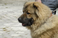 Caucasian shepherd dog. Young caucasian shepherd dog close up royalty free stock image
