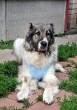 The Caucasian Shepherd Dog Royalty Free Stock Photography