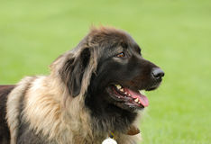 Caucasian Shepherd Dog. Portrait in garden stock photos
