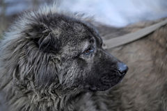 Caucasian Shepherd Dog. Blurred background stock images