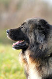 Caucasian shepherd dog Royalty Free Stock Photography
