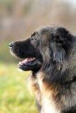 Caucasian shepherd dog. Gray Caucasian shepherd in summer Royalty Free Stock Photography