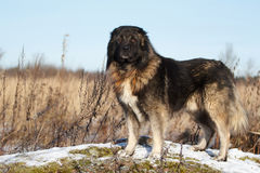 Caucasian Shepherd dog. In autumn field stock image
