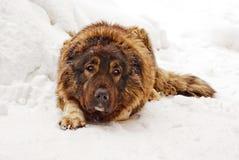 Caucasian shepherd dog Royalty Free Stock Image