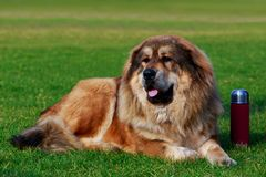 Caucasian Shepherd Dog. Dog of breed Caucasian Shepherd lying in the park and guards a burgundy thermos stock photography
