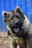 Caucasian Shepherd Dog. Caucasian shepherd breed dog outdoors stock images
