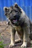 Caucasian Shepherd Dog. Caucasian shepherd breed dog outdoors royalty free stock photos