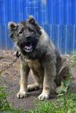 Caucasian Shepherd Dog. Caucasian shepherd breed dog outdoors stock photography