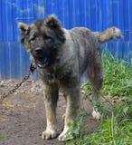 Caucasian Shepherd Dog. Caucasian shepherd breed dog outdoors royalty free stock photo