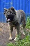 Caucasian Shepherd Dog. Caucasian shepherd breed dog outdoors stock image