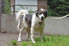 Caucasian Shepherd Dog. Caucasian shepherd breed dog outdoors royalty free stock photography