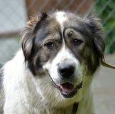 Caucasian Shepherd Dog. Caucasian shepherd breed dog outdoors royalty free stock images