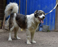 Caucasian Shepherd Dog. Caucasian shepherd breed dog outdoors royalty free stock image
