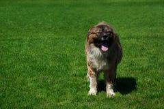 Caucasian Shepherd Dog. Dog of breed Caucasian Shepherd in the park stock images