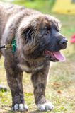 Caucasian Shepherd Dog. Space under the text. 2018 year of the dog in the eastern calendar Concept: parodist dogs, dog friend of man, true friends, rescuers stock images