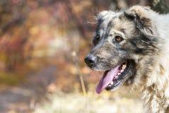 Caucasian Shepherd Dog. Close-up portrait of the Caucasian Shepherd Dog stock image