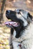 Caucasian Shepherd Dog. Close-up portrait of the Caucasian Shepherd Dog royalty free stock image