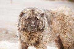 Free Caucasian Shepherd Dog. Guard Dog. Dangerous Huge Dog Stock Photography - 208692582