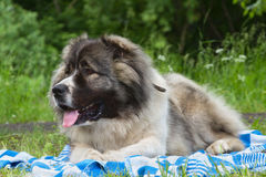 Caucasian Shepherd Dog. Lying on a blanket royalty free stock photo