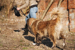 Caucasian shepherd dog outdoor exterior portrait. A gorgeous spring day stock images