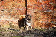Caucasian shepherd dog outdoor exterior portrait. A gorgeous spring day royalty free stock photography